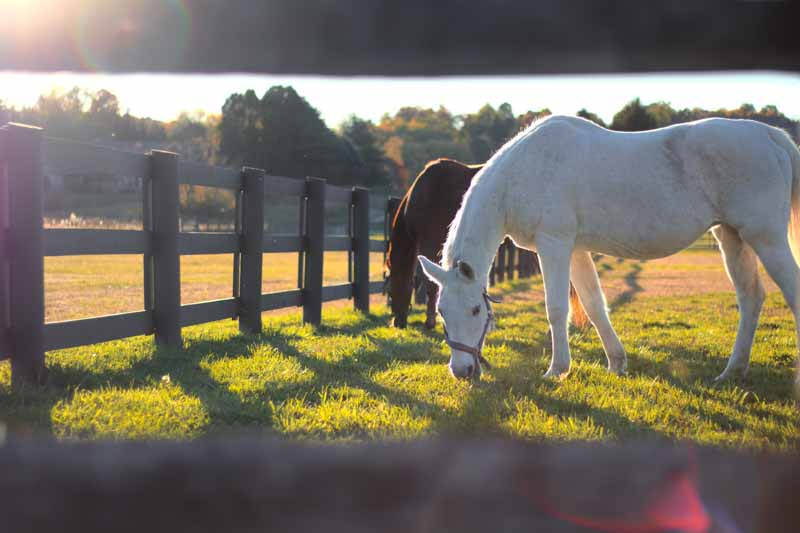 Horses stood behind fence