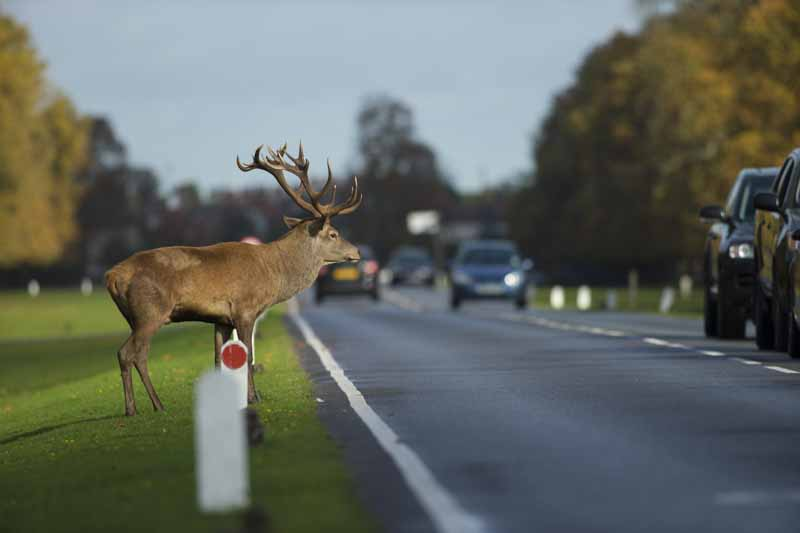 Stag crossing road